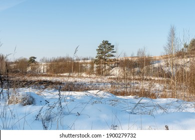 Winter sunny day. Snow field and forest with big pine trees. Little snow, dry grass, trunks on hill on bright blue sky natural background. Northern winter landscape