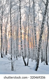 Winter Sunset in the birchwood. Pink sunlight among white trunks of birch trees.