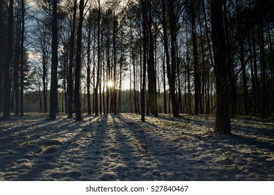 Winter sunset in the forest between the trees. wood and forest scene