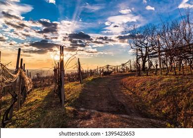 Winter sunset in the vineyard of Savorgnano, Friuli Venezia-Giulia, Italy