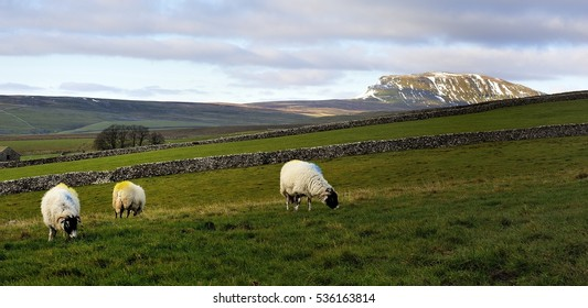 Winter sunshine on Pen-y-ghent and sheep