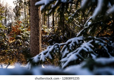 Winter theme photo of sunny snowy landscape. Snow covered fir trees in forest. Selective focus.