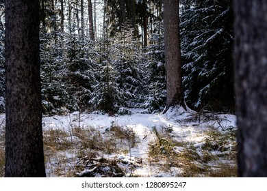 Winter theme photo of sunny snowy landscape. Snow covered fir trees in forest.