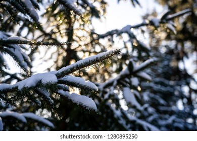 Winter themed photo of sunny snowy landscape. Snow covered fir trees in forest. Selective focus.
