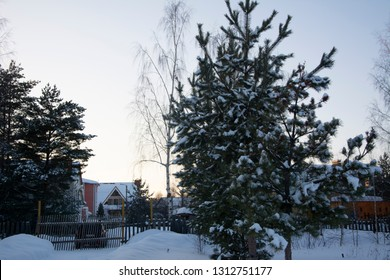 Winter time, snow on the tree, spruce. In the background residential house.