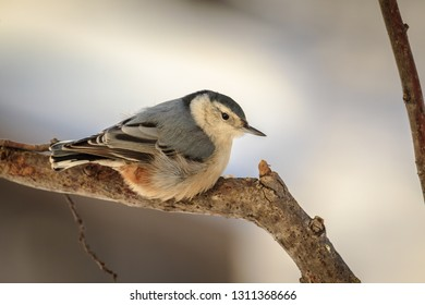 Winter Time White Breasted Nuthatch