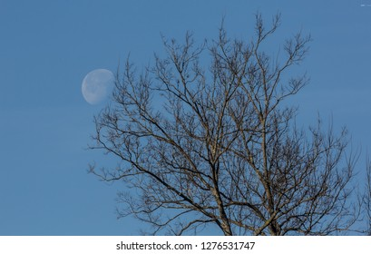 Winter Tree with the Morning Moon in the Background