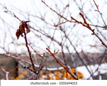 Winter tree red branches with single flaccid leaf on the grey village sky background. Naked plum or apple tree brunches mess