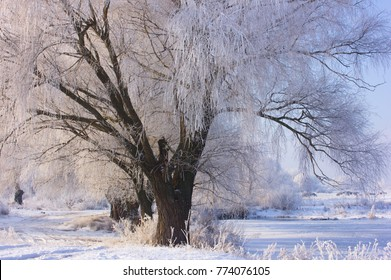 winter tree in the sunrise forest.