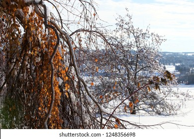 Winter trees in Alberta, Canada
