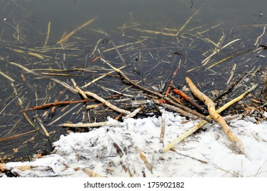 Winter. Trees cut down by the beaver. Place of the prey of the beaver - branches chewed at from the bark.