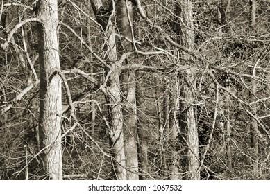Winter Trees duotone