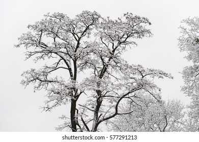 Winter trees with snow on High castle in Lviv Ukraine