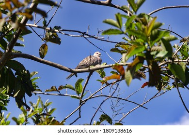 Winter tropical treescape with Spotted Dove (Streptopelia, Spilopelia chinensis ceylonensis). Sri Lanka sedentary birds