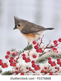 A winter Tufted Titmouse (Baeolophus bicolor) on a snowy branch laden with bright red hawthorn berries.