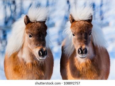 in winter two cute ponies