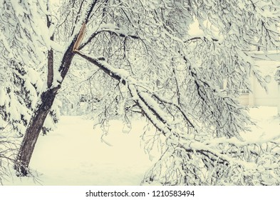 Winter view on fallen trees under snow. Dangerous trees under heavy snow. Snow storm on city street. Winter view on fallen trees after heavy snowing.