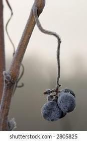 Winter vineyard closeup