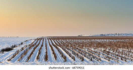 Winter vineyard from Macedonia