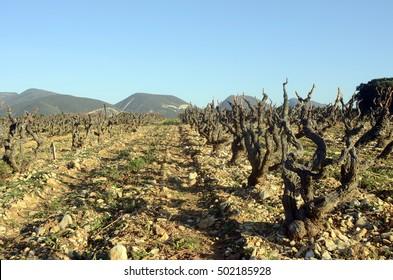 Winter Vineyards of Cote du Rhone in Drome provencal in France