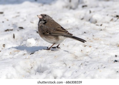A winter visitor, the dark eyed junco checking things overhead
