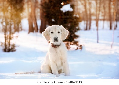 Winter walk at snowing park of golden retriever puppy