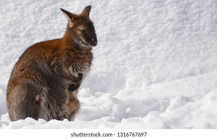In winter a wallaby is any animal belonging to the family Macropodidae that is smaller than a kangaroo and hasn't been designated otherwise.