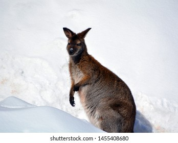 In winter wallaby is any animal belonging to the family Macropodidae that is smaller than a kangaroo and hasn't been designated otherwise.