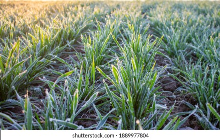 Winter wheat was covered with hoarfrost from the frosty and sunny morning