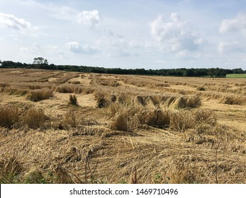 Winter wheat crop lodged and damaged with bad weather and poor agronomy practices, North Yorkshire, England, United Kingdom