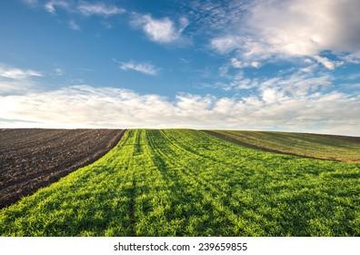 Winter wheat field in morning