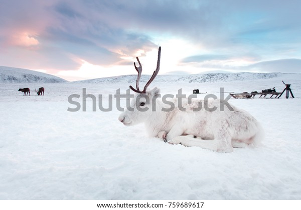 Winter white deer in the desert of Siberia, Russia, Yamal. Resting on the snow at sunrise.
