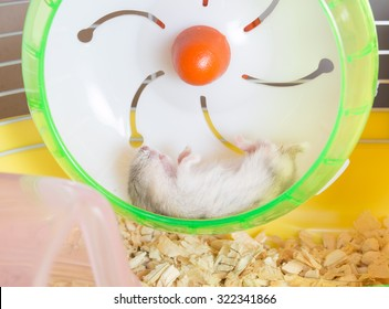 Winter White hamster sleep supine with legs up on wheel