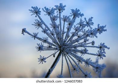 Winter, wild flower frozen in snow and hoarfrost