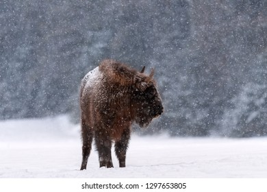 Winter Wildlife Scene: Motionless Great Wild Brown Bison (Wisent) During A  Snowfall. Big European Wood Bison ( Aurochs, Bison Bonasus ) Stands Sideways Against The Backdrop Of Snowflakes And Forest.