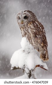 Winter wildlife scene with Tawny Owl. Action scene with beautiful night bird and snowflakes, wildlife from Sweden, Europe.