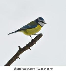 winter will come,blue tit,Czech republic
