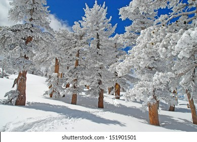 Winter Wonderland in a Pine Forest