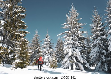 Winter wonderland in Romania - man with red backpack hiking in deep now & tall spruce trees frozen