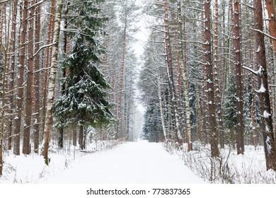 Winter woods, Russia.