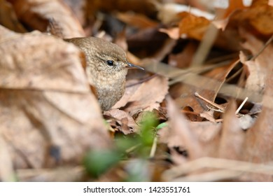 A Winter Wren hides among the fallen leaves at Colonel Samuel Smith Park in Toronto, Ontario.