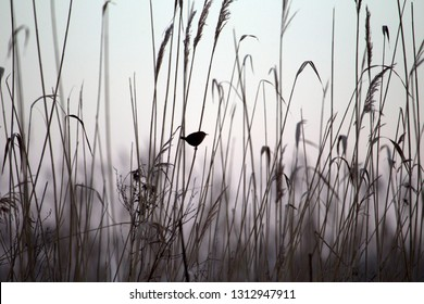 Winter Wren in the reeds in nature reserve Oude Kene, the Netherlands