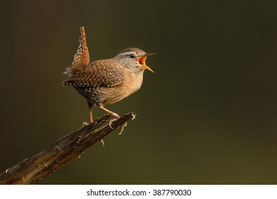 Winter Wren singing over the natural green background.