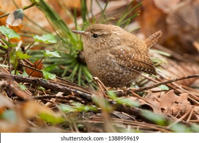 Winter Wren standing on the ground in the leaf litter. Colonel Samuel Smith Park, Toronto, Ontario, Canada.