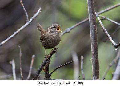 Winter wren (Troglodytes hiemalis) in spring