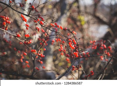 winterberry on branches