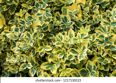 Wintercreeper or Euonymus fortunei or Spindle or Climbing euonymus or Fortunes spindle or Winter creeper evergreen shrub plant with green to yellow elliptic to elliptic-ovate leaves with finely serrat