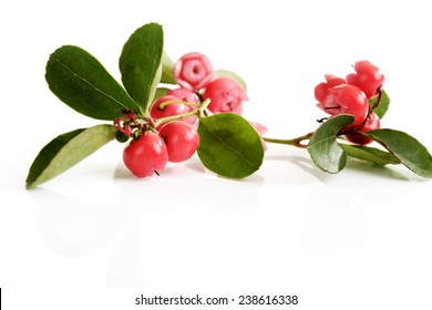 Wintergreen teaberry, Gaultheria procumbens