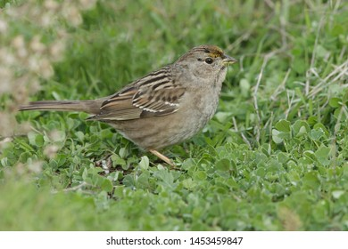Wintering adult Golden-crowned Sparrow, Zonotrichia atricapilla) in non-breeding plumage. Standing on the ground in Santa Clara County, California, USA.