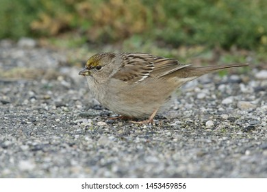 Wintering adult Golden-crowned Sparrow, Zonotrichia atricapilla) in non-breeding plumage. Foraging on the ground in Santa Clara County, California, USA.